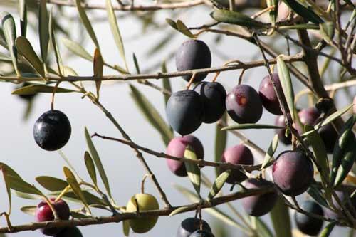 olive-branch-500.jpg