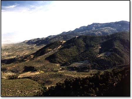 olivegroves.jpg